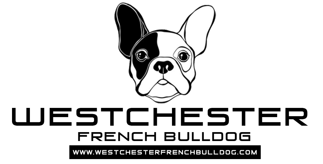 Westchester French Bulldog